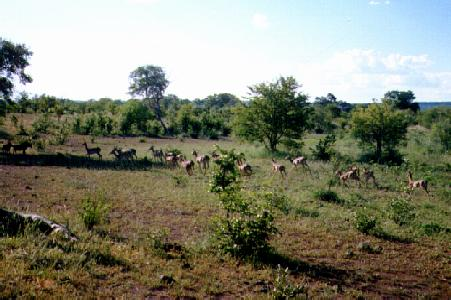 A herd of impala