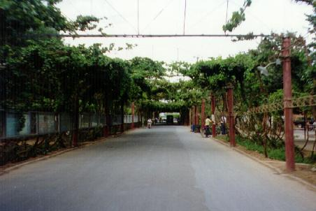 Vine shaded street in Turfan